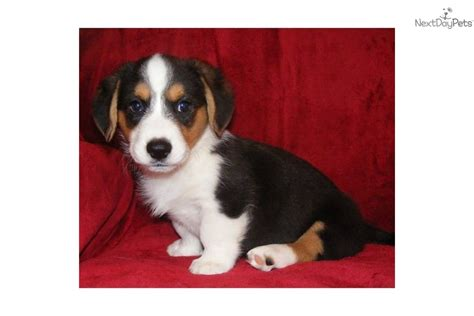 cardigan corgi puppies for sale price corgi cardigan for sale for 800 near texarkana arkansas f0be6ecc 5941
