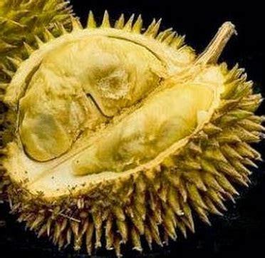 Bibit Buah Durian Kumbokarno 1 tanaman durian kumbokarno bibitbunga
