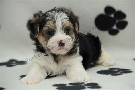 parkers precious puppies nash the boy morkie quot s precious puppies