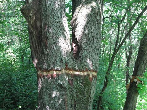 tree vandals hit a second south metro park cherry trees girdled possibly to be stolen for wood