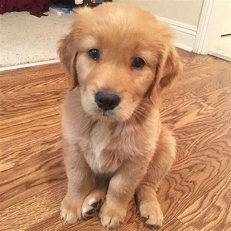 golden retriever puppies nebraska golden retriever ne yer dogs our friends photo