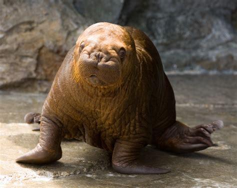 walrus puppy file walrus kamogawa seaworld pup 1 jpg wikimedia commons