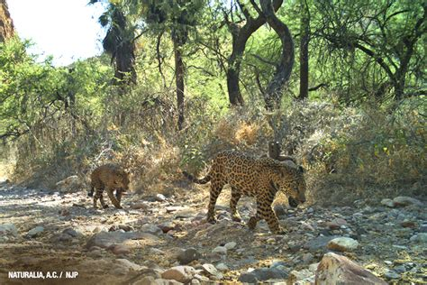 mexican jaguars the and winding road of jaguar conservation