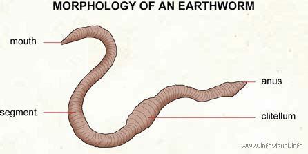 earthworm and parts earthworm diagram labeled parts earthworm free engine image for user manual