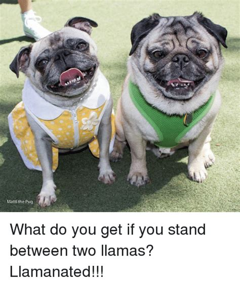 matti the pug 25 best memes about pugs pugs memes