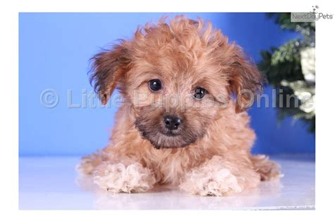 cheap yorkie puppies for sale in east yorkie poodle puppies in maine breeds picture