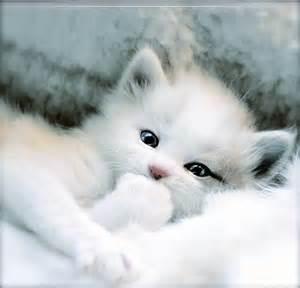 white kitten   kittens picture