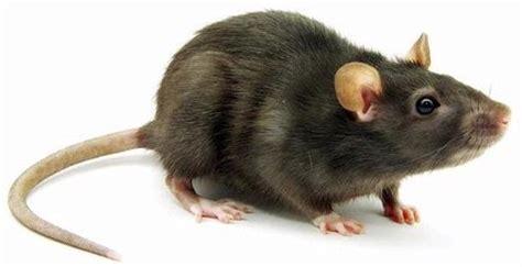 Jual Obat Pembasmi Tikus pembasmi hama tikus pada areal pertanian sawah jual