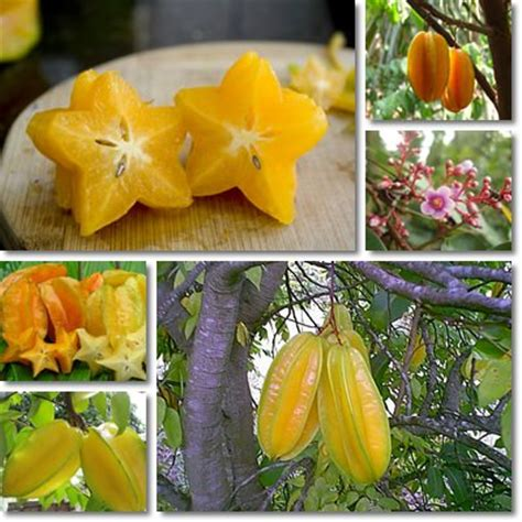 Undigested Fruit In Stool by Properties And Benefits Of Carambola Natureword