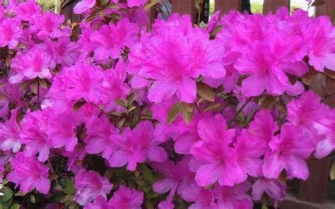 azalea colors buy autumn royalty encore azalea from wilson bros