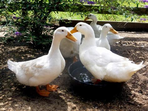 ducks for backyards duck breeds for backyard flocks hgtv