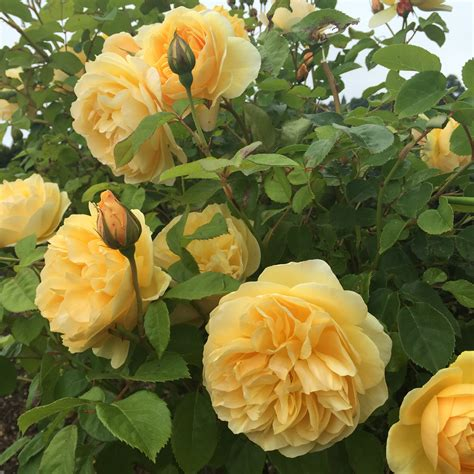 rock dust and roses planting tips for healthy beautiful