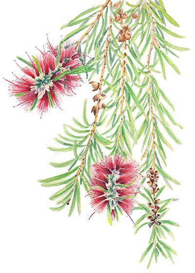 callistemon  bottlebrush june  watercolour