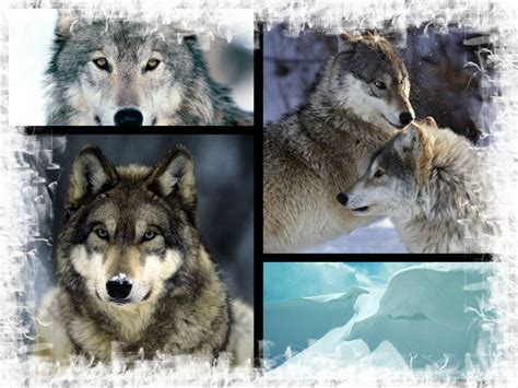 wolf s wallpaper of wolves 2017 2018 best cars reviews