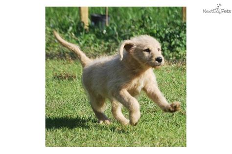 Best Family Non Shedding by Labradoodle Puppy For Sale Near West Palm Florida
