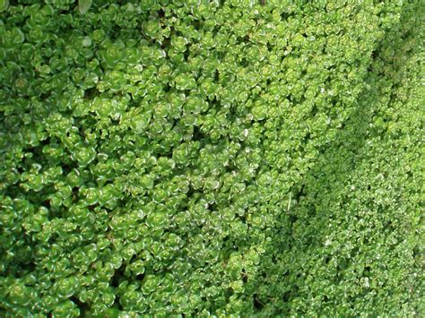 groundcovers for sun landscaping pinterest ground covering sedum ground cover and uva ursi