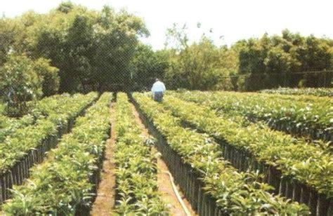 persianas uruapan venta de arboles frutales de ornato y reforestaci 243 n