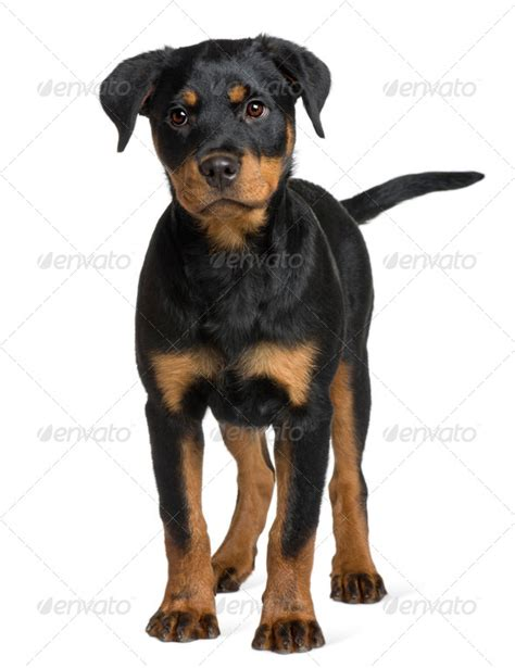 rottweiler 3 months rottweiler puppy 3 months standing in front of white background stock photo by