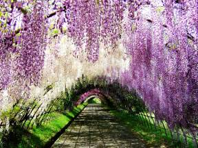 wisteria tunnels tokyo world travel places wisteria tunnel japan