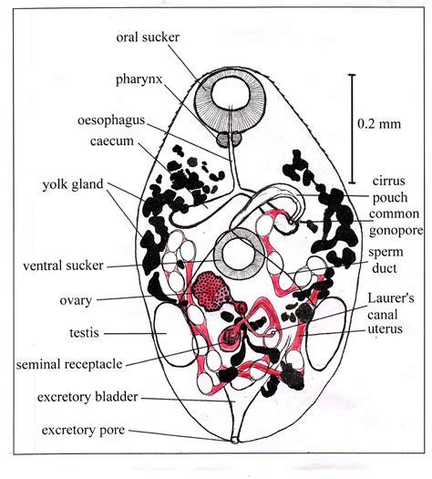 labelled diagram of fasciola hepatica diagram of liver fluke schematic science teaching