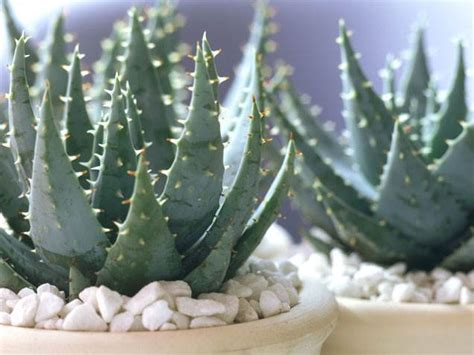 do aloe plants need sunlight the easiest indoor house plants that won t die on you