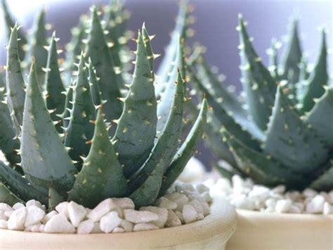 easiest indoor house plants  wont die