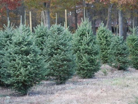 five places to cut your own christmas tree st charles