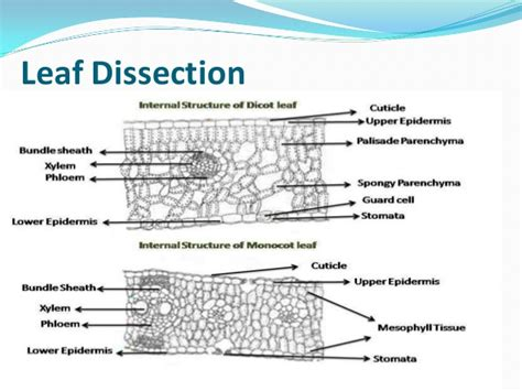 difference between monocot and dicot leaf cross section monocot vs dicot