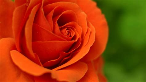 beautiful orange beautiful orange rose wallpaper www imgkid com the image kid has it