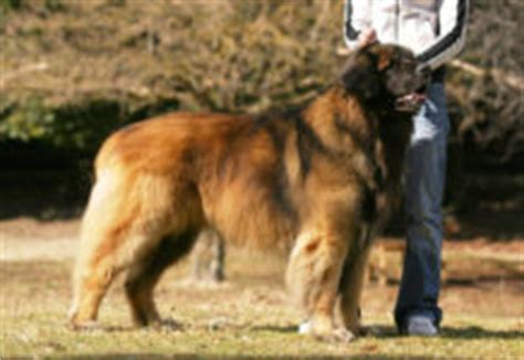 leonberger puppies cost alaskan malamute price range how much is an alaskan malamute puppy