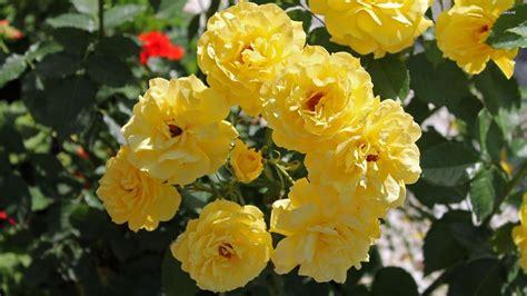 wallpaper flower yellow yellow rose flower wallpapers wallpaper cave