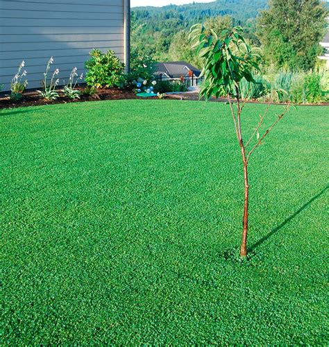 micro clover seed pelleted west coast lawn alternative