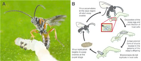 wasp cycle diagram the cycle of the wasp m demolitor and its bracovirus