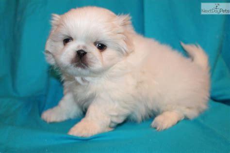 pekingese puppies for sale near me pekingese for sale for 600 near joplin missouri 81037364 ee91
