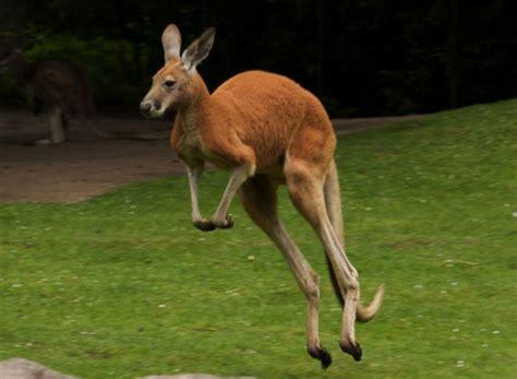 what does a landscaper do juntando s 225 maras curiosidades de los canguros