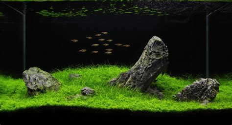 Iwagumi Aquascape by Manage Your Freshwater Aquarium Tropical Fishes And