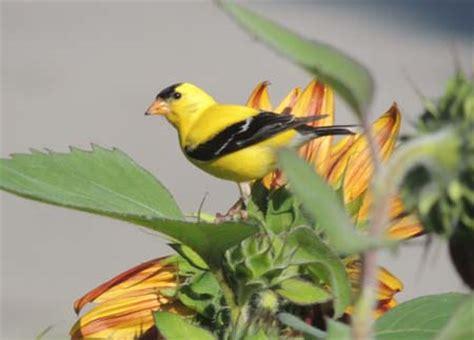goldfinch bird identification diet habitat images the