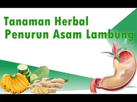 ramuan tanaman herbal penurun asam lambung youtube