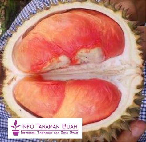Bibit Durian Pelangi bibit durian pelangi durian unggulan yang unik dengan
