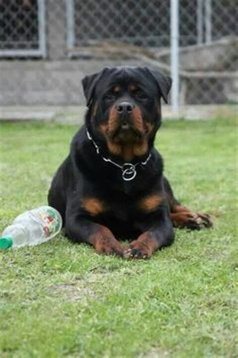 silverhill rottweilers dogs i like on corso rottweilers and corso puppies