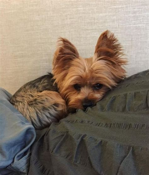 owning a yorkie 1000 ideas about terriers on yorkie yorkie puppies and terriers