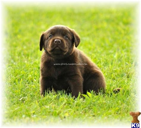 chocolate lab puppies for sale in mn golden labrador puppies for sale in mn