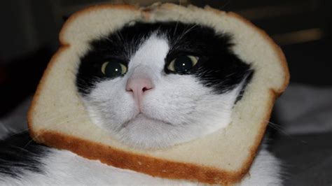 Cat Breading Meme - breading cats meme takes off technology tech news