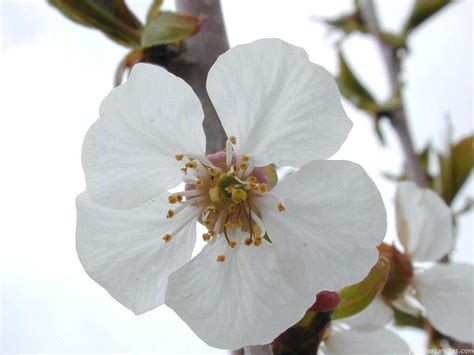 imagenes flores de cerezo fotos de flores la flor del cerezo