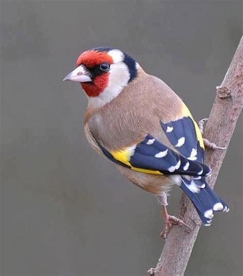 gold finch for the birds pinterest