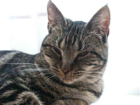various breeds different breeds of black cats le chat persan en 67 photos qui vous feront aimer