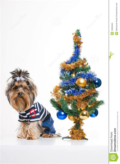 xmas tree with yorkies terrier near tree stock photo image 13036450