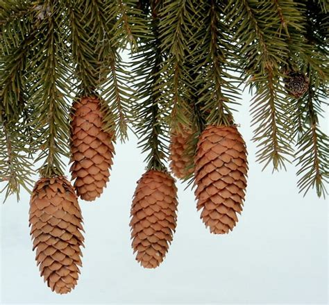 pinecone ornament natures pine cone ornaments photograph by rosanne