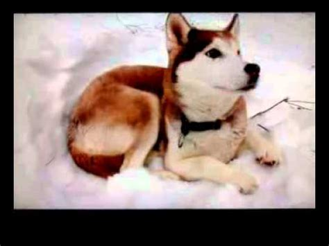 dogs 101 husky 101 siberian husky