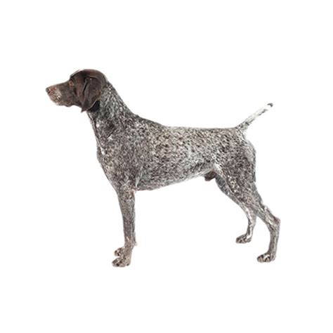 German Shorthair Shedding by German Shorthaired Pointer Excessive Shedding 28 Images